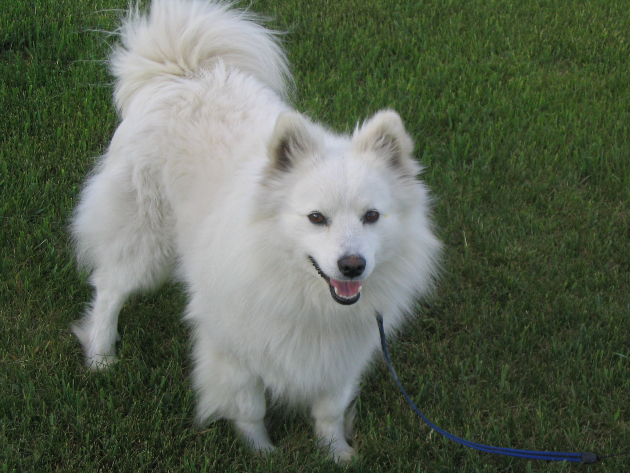 Standard American Eskimo Dog For Sale
